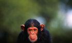 Can chimpanzees learn human language?