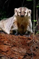 Do coyotes and badgers work together to find food?