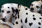 Are Dalmatians good family dogs?