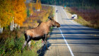 Why Are Moose More Dangerous Than Bears?