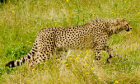 The Endangered Cheetah