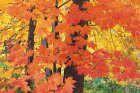 Why do leaves change color and turn red?