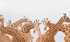 If a giraffe's neck only has seven vertebrae, how is it so flexible?
