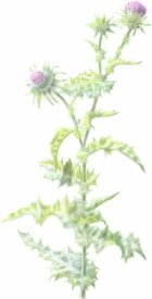 Herbal Remedies for Gallstones