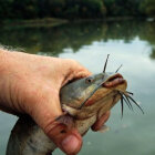 How to Hold a Catfish