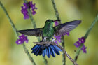 Do hummingbirds have sex in midair?