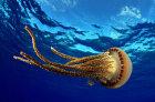 How Jellyfish Work