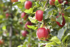 Did Johnny Appleseed really plant apples all over America?