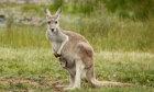 The Ultimate Kangaroo Quiz