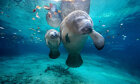 Can manatees see under water?
