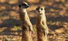Meerkat Image Gallery