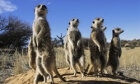 Meerkat Quiz