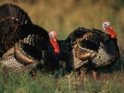 How the National Wild Turkey Foundation Works