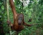 Are orangutans introverts?