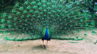 If a peacock loses its tail feathers, will they grow back?