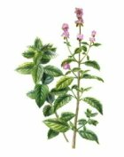 Peppermint: Herbal Remedies