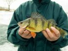 Top 3 Perch Fishing Tips