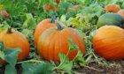 Pumpkins: The Halloween Essential