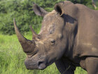 Why do rhinos charge at anything unfamiliar?