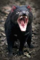 Are Tasmanian devils fighting their way to extinction?