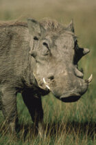 Why do warthogs have warts?