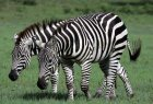 How do a zebra's stripes act as camouflage?