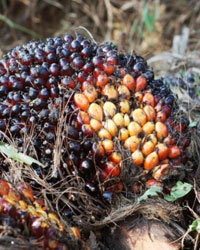 While palm seed oil is a promising biofuel, production costs are high.