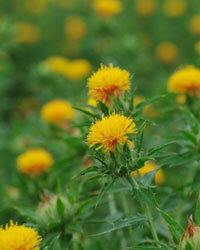 More safflower oil would have to be produced to make it practical for widespread use.