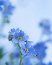 Forget-me-nots flourish in less-than-sunny conditions.