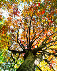 Japanese maples can add fiery colors to your bleak yard.