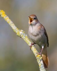 What does this nightingale have to do with moisturizer ingredients? See more pictures of unusual skin care ingredients.