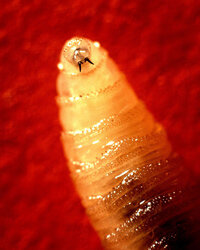 The screwworm larvae can burrow into wounds on animals and humans alike.