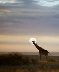 A giraffe stands in the cool dusk of the African savanna.