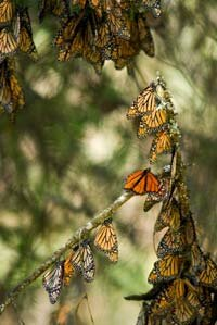 Monarch butterflies migrated to Mexico's El Rosario Monarch Butterfly Reserve for the winter.