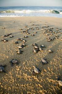 Olive ridley turtles on the beach at Rancho Punta San Cristobal, near Cabo San Lucas