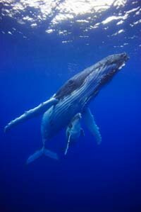 Humpback whale and calf in the South Pacific, Tonga, Vava'u