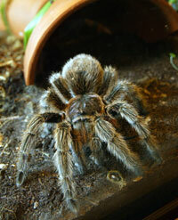 The venom of the Chilean Rose tarantula (shown at the San Francisco Zoo) contains a protein that can help stop heart attacks.
