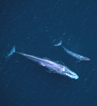 A blue whale with its calf