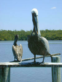 Brown pelicans often feed on both the ocean and sound sides of barrier islands