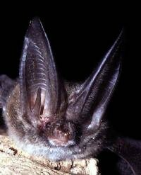 Rafinesque's big-eared bat is a microchiroptera species found in the southeastern United States. The oversized ears help the bat accurately pinpoint its prey.