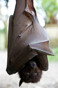 The flying fox bat makes it on the menu in some African and Asian countries. See more pictures of mammals.