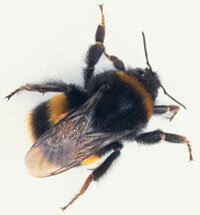 Bees are hairy and robust with flat legs for gathering pollen.