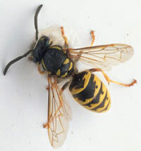 Wasps are slender with smooth bodies and slender legs.