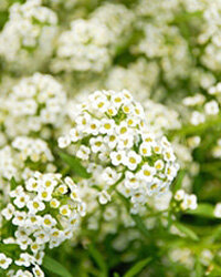 Sweet alyssum in bloom in Athens, Ga.