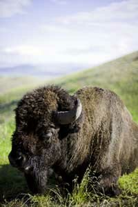 Bison were nearly hunted to extinction by the end of the 19th century. See more pictures of mammals.