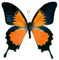 Butterflies' bright colors and unique shapes make them a target for collectors.
