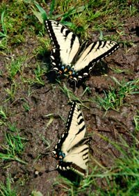 Swallowtail butterflies get nutrients from moist soil