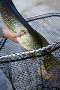 The use of a landing net can have a negative effect on the health of a fish.