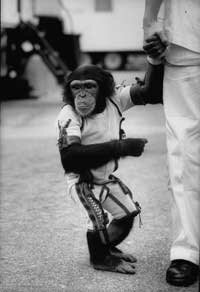 Ham, the astrochimp, after his space flight in 1961.
