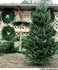 A white pine (left) and a fraser fir (right) in a stand